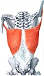 The latissimus dorsi (lat muscles) are actively stretched in shoulder release.